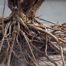 エゾウコギの根