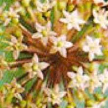 エゾウコギの雌花
