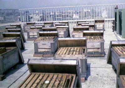 本社第一ビル屋上の様子。蜂の巣箱が並んでいる。{LF}「王蜜」はクロレラを食べた蜂から摂れ